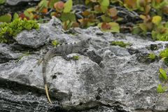 An iguana on the rocks between leaves. In Mexico stock images