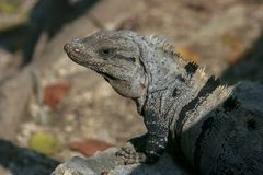 An iguana on the rocks between leaves. In Mexico royalty free stock photography