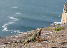 Iguana on the rocks. Royalty Free Stock Image