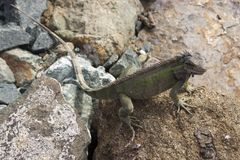 Iguana on Rocks Stock Photos