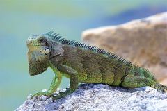 Iguana on the rocks. Wild iguana sitting on the rocks, Caribbean stock images