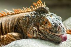 Iguana rossa che mette sulla terra che attacca fuori la sua lingua Immagine Stock Libera da Diritti
