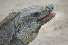Iguana in the ruins of Tulum, Mexico Royalty Free Stock Image