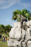 Iguana in the ruins of Tulum, Mexico Royalty Free Stock Photography