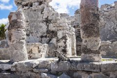 Iguana in Ruins in Tulum, Mexico. Iguana lizard in theRuined historic Architecture in the pre Columbian walled city of Tulum, in the Yucutan Peninsula in the stock photo