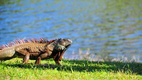 Iguana running along water Royalty Free Stock Photo