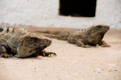iguana s dwa fotografia royalty free