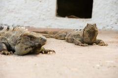 iguana s dwa obraz royalty free