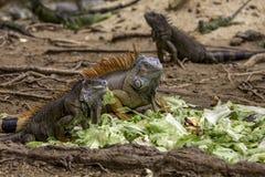 Iguana's Eating Stock Photography