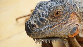 The Iguana`s face from near view royalty free stock image