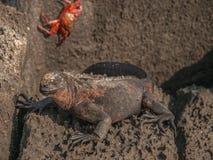 Iguana and Sally Lightfoot Crab Stock Photo