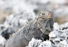 Iguana salvaje. Imagen de archivo