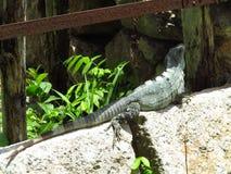 Iguana salvaje foto de archivo
