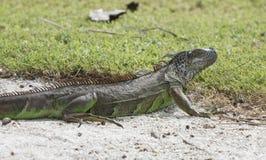 Iguana salvaje en la arena blanca Imágenes de archivo libres de regalías