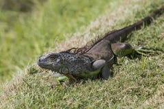 Iguana salvaje lista para escaparse, imágenes de Imagen de archivo