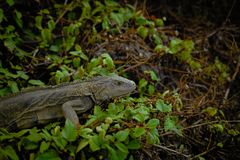 Iguana salvaje tropical fotos de archivo
