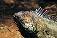 iguana in San-Jose, Costa-Rica. Royalty Free Stock Images