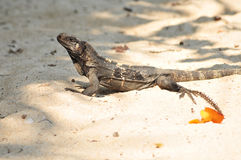 Iguana in the sand Stock Images
