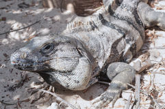 Iguana on sand Stock Image