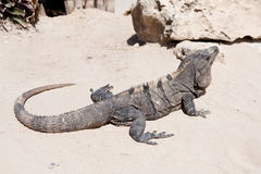 Iguana on the sand Royalty Free Stock Photo