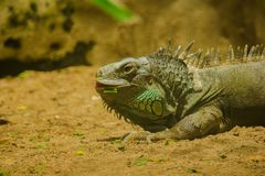 Iguana on the sand.iguana is a resident of Central and South America. The green iguana is a large green lizard with a spike-like spine on the middle of the stock image
