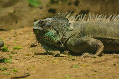 Iguana on the sand.iguana is a resident of Central and South America. The green iguana is a large green lizard with a spike-like spine on the middle of the royalty free stock photo