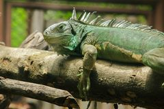 Iguana on the sand.iguana is a resident of Central and South America. The green iguana is a large green lizard with a spike-like spine on the middle of the royalty free stock images
