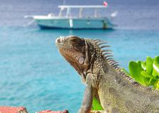 Iguana by the Sea. An Iguana sitting in the sun with a dive boat in the background royalty free stock image