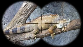 Iguana seen through binoculars. Watching animals at wildlife safari. Shot with a Sony a6300 fps 29,97 4k stock footage