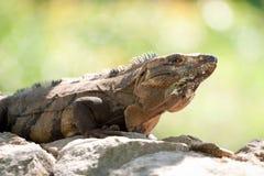 Iguana selvaggia Fotografia Stock Libera da Diritti