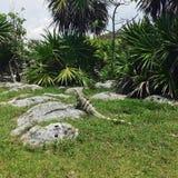 Iguana selvaggia Immagine Stock