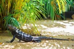 Iguana serenely walking in the shade. Iguana serenely walking on the beach in the shade of palm leaves Stock Photos