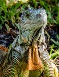 Iguana seria immagini stock