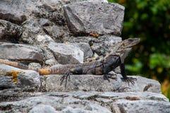 Iguana Stock Photography