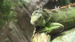 Iguana stock video