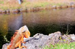 Iguana showing dewlap. A green iguana in the sun by the water in South Florida Stock Images