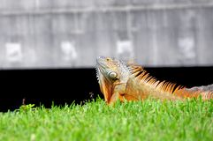 Iguana showing dewlap, South Florida. Iguana close to the water in a South Florida park Stock Images