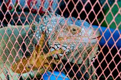 Iguana shrugged in the cage. Scary sight stock images