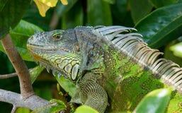 iguana się blisko Fotografia Stock