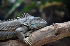 Iguana side profile. On branch Stock Photo