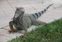 Iguana on Sidewalk Stock Photos