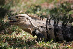 Iguana - similis de Ctenosaura Fotografia de Stock