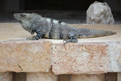Iguana sits on the cliff near Mayan archeological site Uxmal. Royalty Free Stock Photos