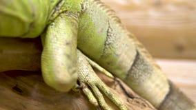 An iguana is sitting on a branch. Iguana lizard basking in the sun. Close-up