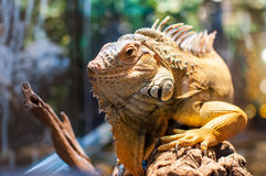 Iguana sitting on a branch in the terrarium Royalty Free Stock Photo
