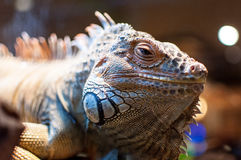 Iguana sitting on a branch in the terrarium Stock Photos