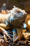 Iguana sitting on a branch in the terrarium Royalty Free Stock Photos