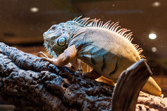 Iguana sitting on a branch in the terrarium Stock Photo