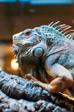 Iguana sitting on a branch in the terrarium Stock Images