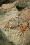 Iguana sitting on a rock Royalty Free Stock Photo